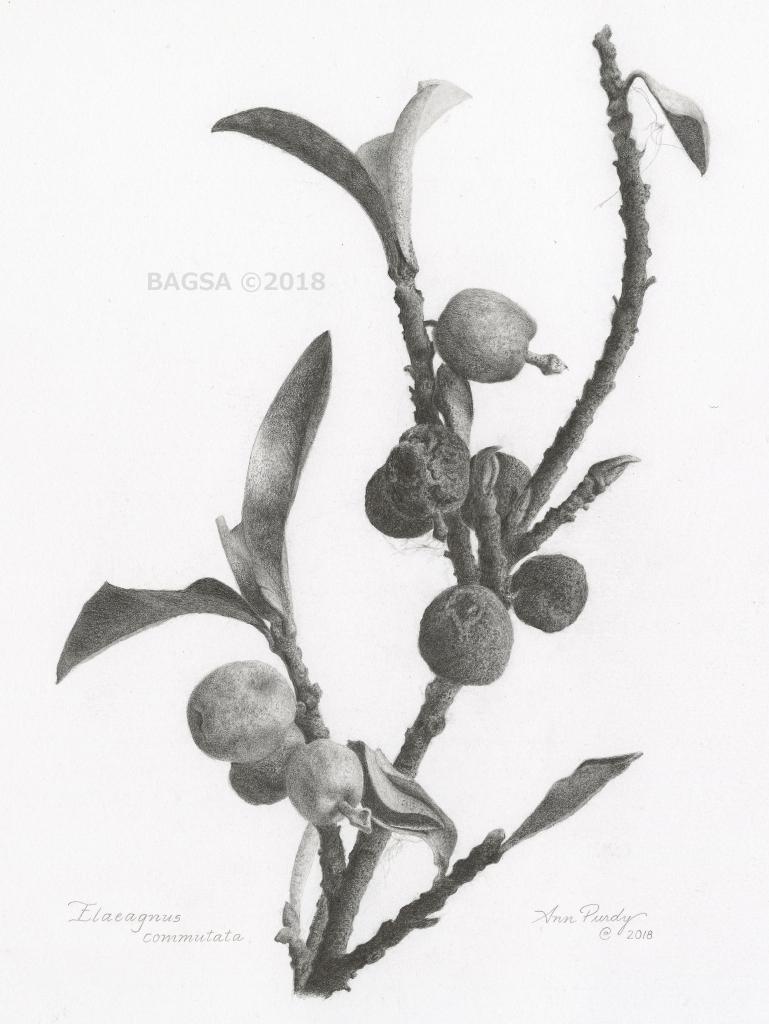 Elaeagnus commutata - Ann Purdy