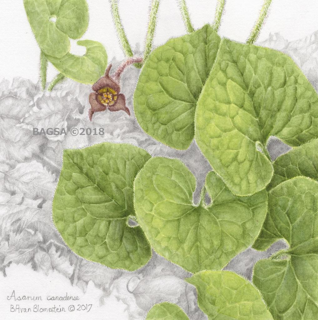 Asarum canadense - Barbara Van Blomestein