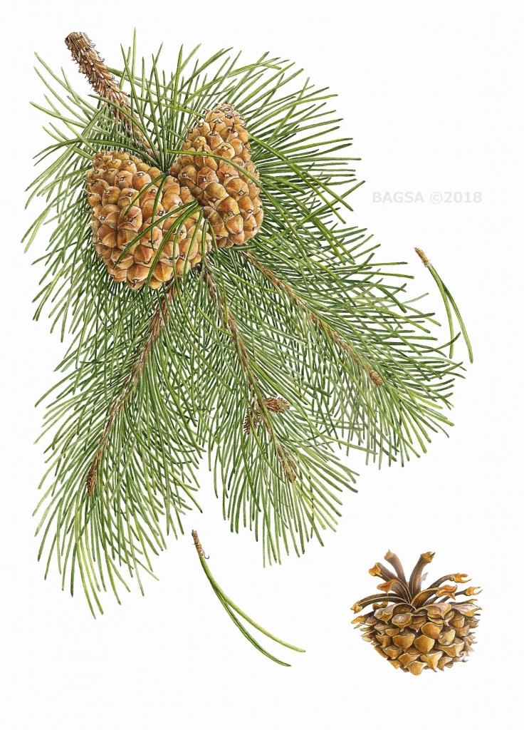 Pinus contortus - Margaret Best