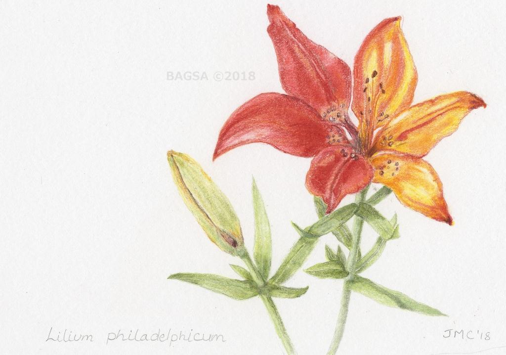 Lilium philadelphicum - Janet Campbell