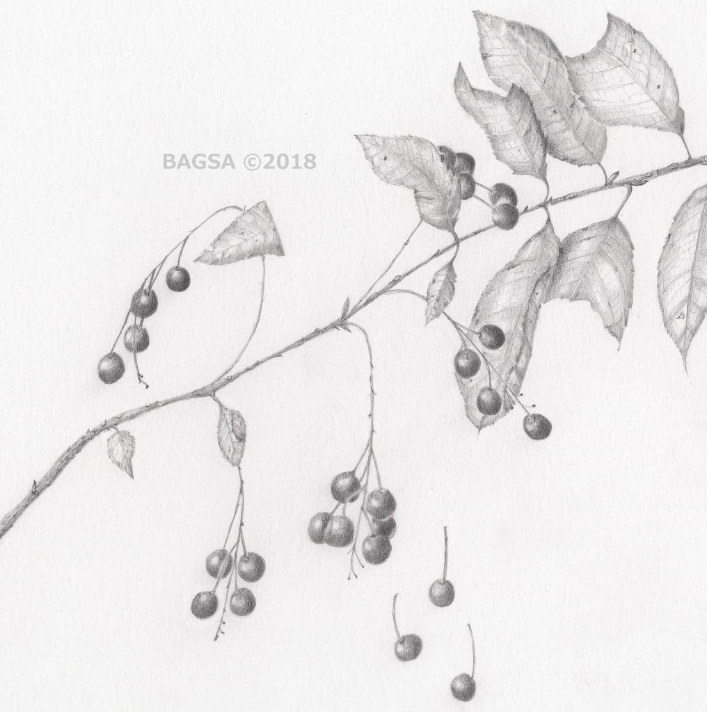 Pin Cherry-Prunus pensylvanica - Sara-Jane Gruetzner