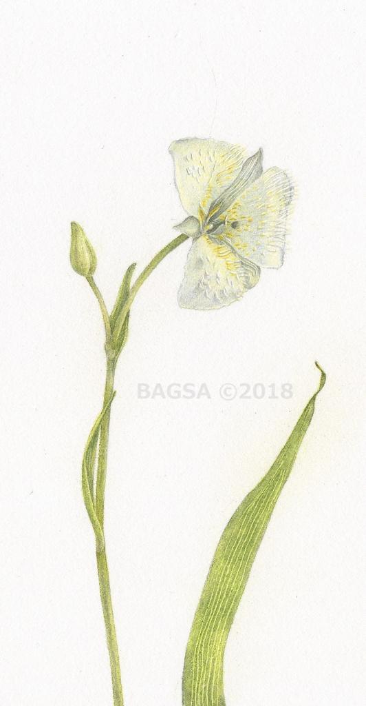 Calochortus-full bloom - Karen Humphrey