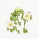 Trollius albiflorus - Jacinthe Lavoie