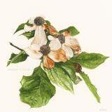 Western Flowering Dogwood - Sherry Mitchell