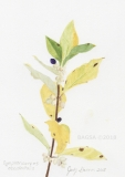 Symphoricarpos occidentalis - Judy Sterner