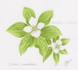 Cornus canadensis - Sonia  Uiting