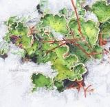 Peltigera leucophlebia - Babette Blindert