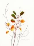 Amelanchier alnifolia - Suzanne Sanders